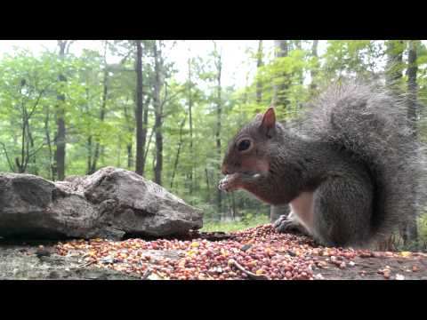 Eastern Gray Squirrel (Video for dogs and cats to watch...)