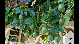 Cây trái sum suê ở San Jose, tiểu bang California (Người Việt ở Mỹ)