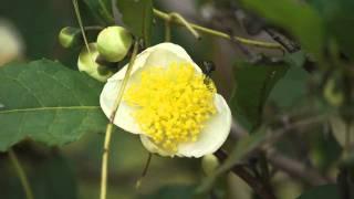 ツバキ科ツバキ属チャノキCamellia sinensis