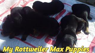 My Rottweiler [ Max ] Puppy !! ROTTWEILER !!