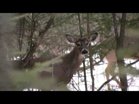 When and Why Deer Shed Their Antlers