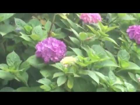 箕甲山保安寺熊谷市紫陽花の寺vol5