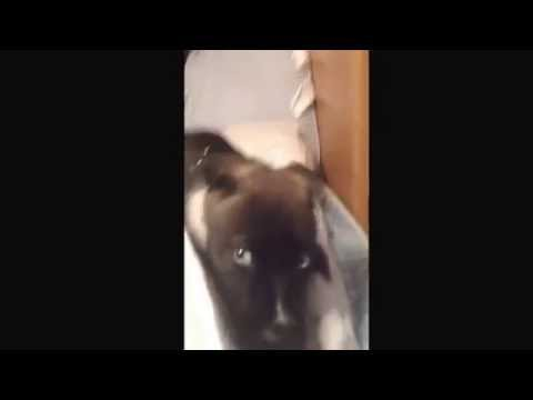 Buck the Pitsky talking :) Very Cute Puppy!! Pitbull/ Husky Mix