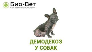 Демодекоз у собак. Ветеринарная клиника Био-Вет.