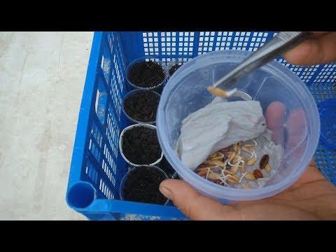 Выращивание арбузов и дынь / Высаживаем арбузы и дыни на рассаду сроки высадки бахчевых на рассаду