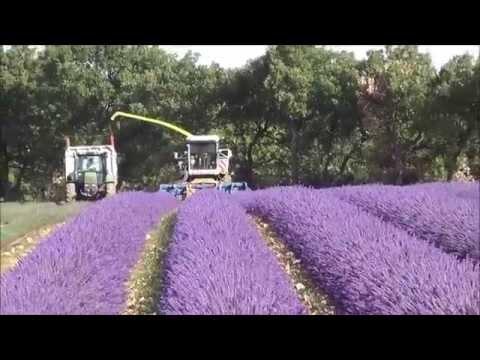 Lavender Harvest in Provence (Valensole 2014)