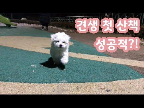 새끼강아지 비숑프리제  첫 산책 성공적?! / dog tv 비숑프리제 귀여운 영상