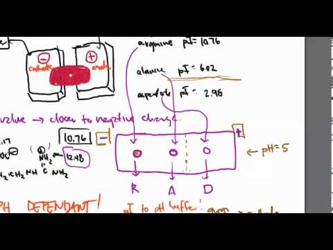 Electrophoresis of amino acids