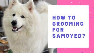 Cắt tỉa lông cнo Samoyed | Dạy nghề cắt tỉa lông chó mèo chuyên nghiệp | How to grooming for Samoyed