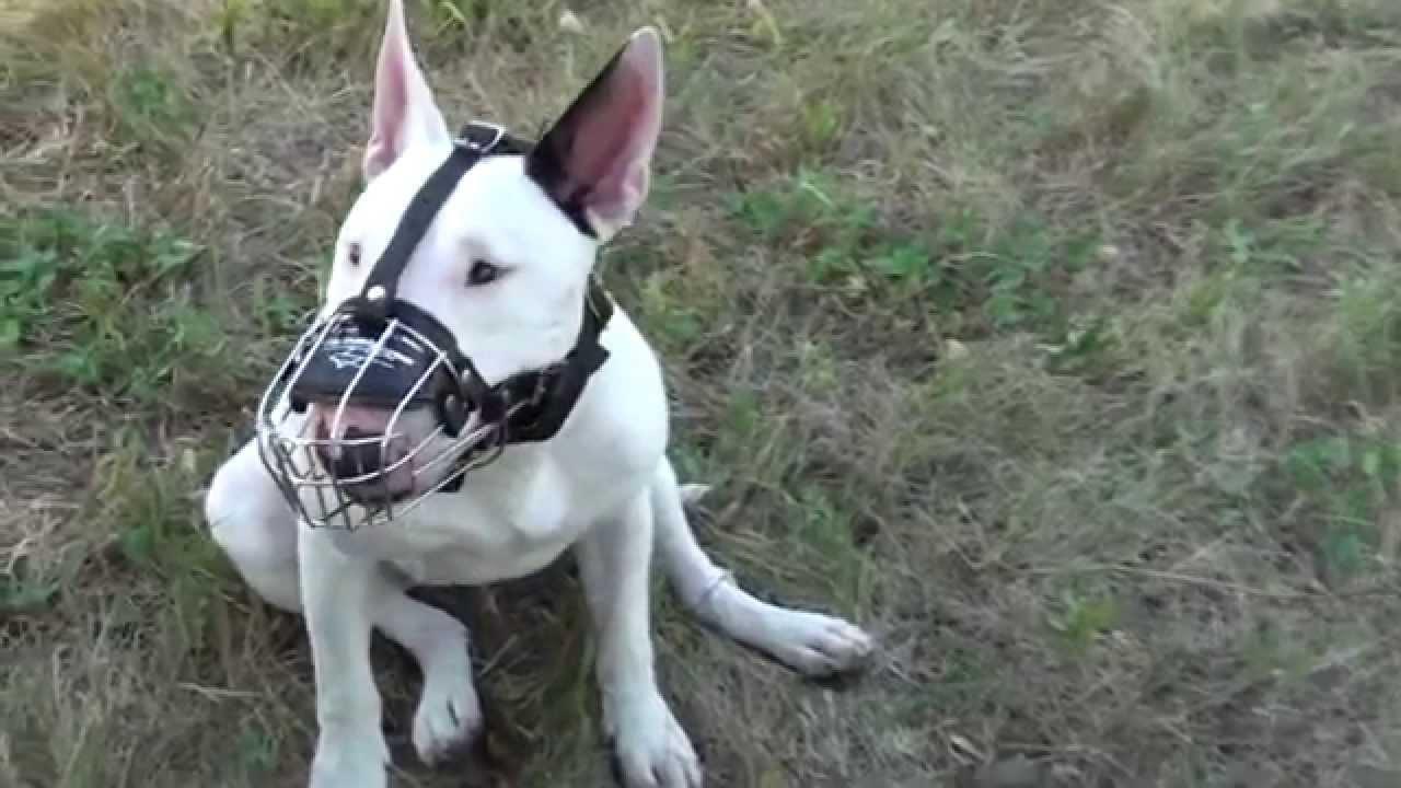 Bullterrier Wire basket muzzle - YouTube