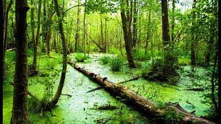 "Картина маслом поэтапно ""Болото в лесу"".Пишем мастихином.Swamp"