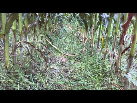 How do Quebec farmer's interseed cover crop into corn?