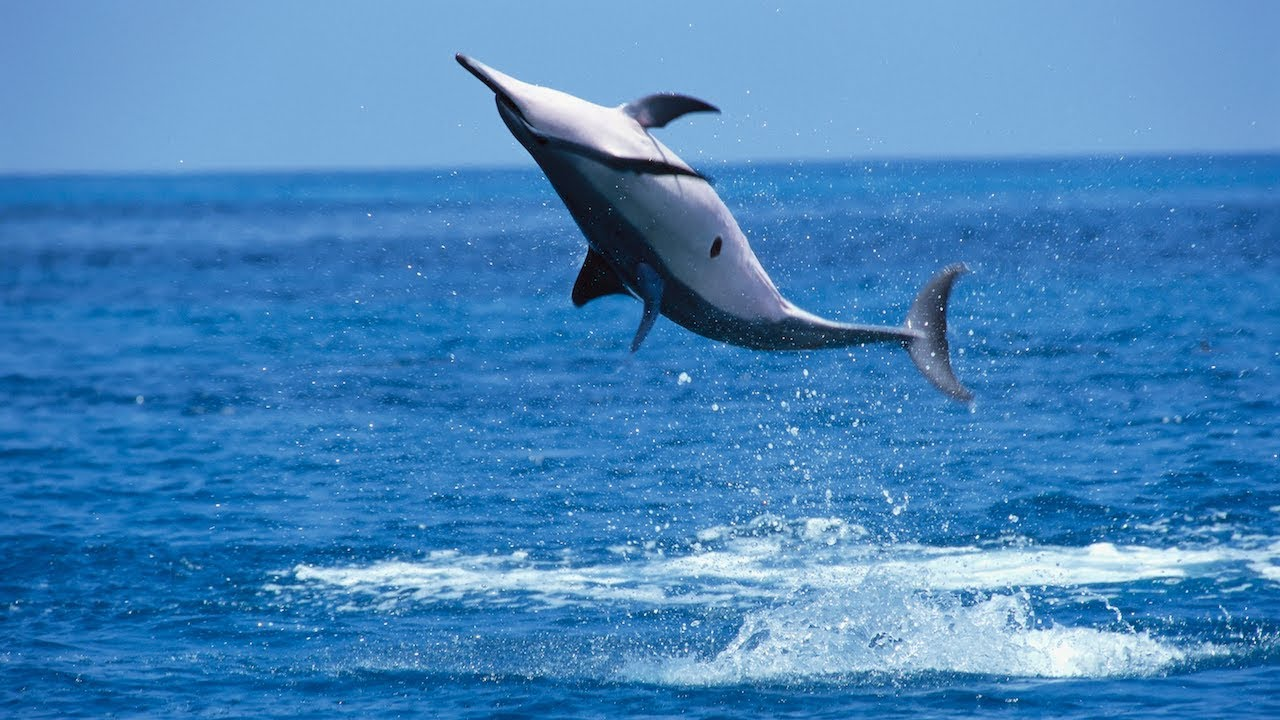 why do spinner dolphins spin - Pics Of Dolphins