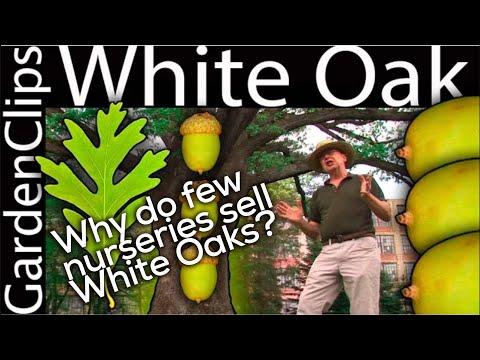 White Oak - Quercus alba - Growing White Oak