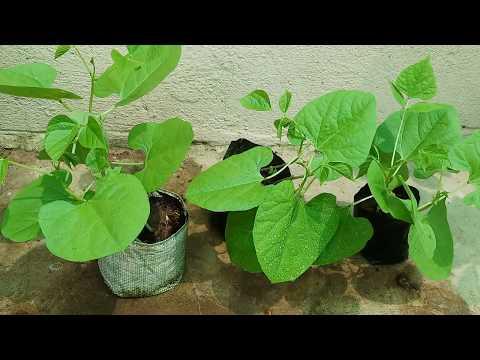 सेम के पौधें को सीड्स से कैसे उगाये | How to Grow Common Beans from Seeds | Budget Gardening (Hindi)