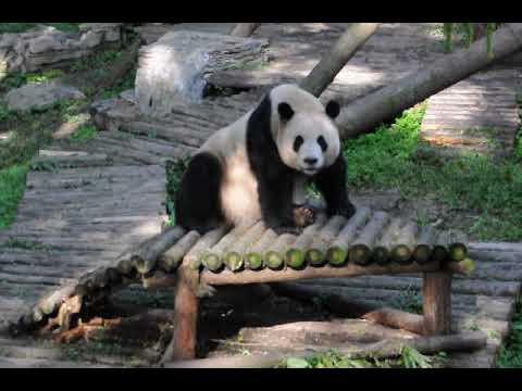 Sitting giant panda