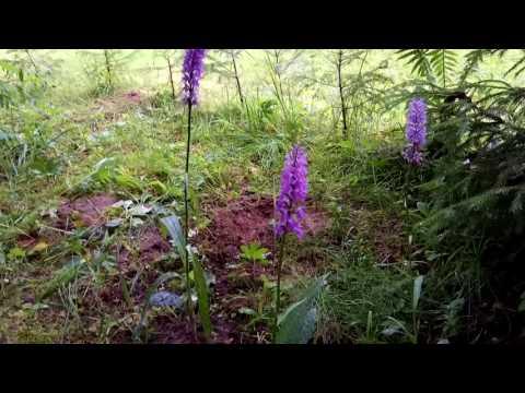 Подмосковная орхидея
