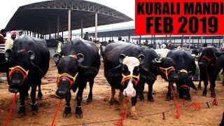 Kurali mandi February 2019 - Murrah buffalo of Punjab