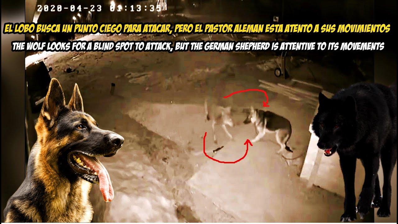 Un Pastor Aleman contra un Lobo y dos perros Poderoso (Pitbull)