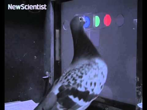 Bird-brained pigeons perform like primates