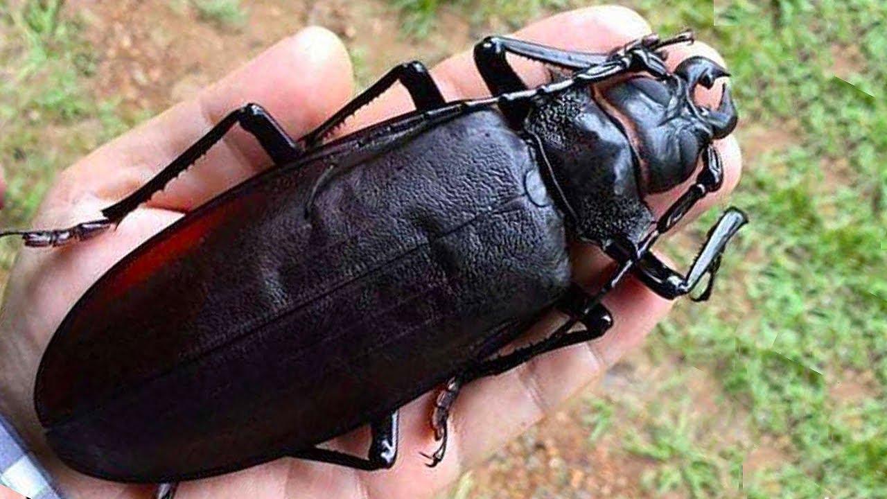 САМЫЕ ГИГАНТСКИЕ НАСЕКОМЫЕ НА ПЛАНЕТЕ. Топ 10 самых огромных насекомых в мире.