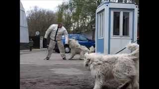 Южнорусская овчарка: Шалун - работа, тестирование, выставка