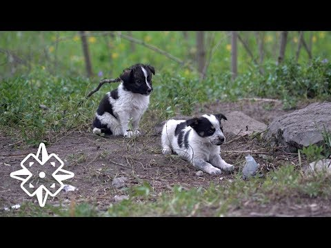 Thumbnail: The Puppies of Chernobyl