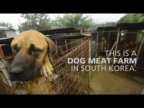 149 South Korea dogs saved from being eaten