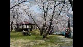 大鹿村大西公園の桜
