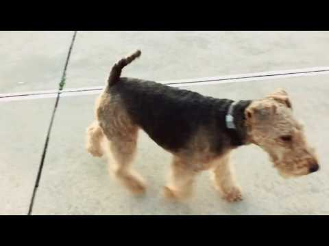 Welsh Terrier Dog Running Around! Puppy Off-Leash Fun