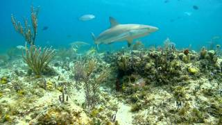 Shark Populations Enrich Ecosystem, Economy in The Bahamas   Pew
