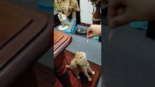 "Persian cat my pet ""Ninja"" eating chicken by hand"