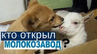 Как понять,что коза рожает когда Жена болеет?И кто открыл МОЛОКОЗАВОД?