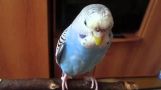 Самка волнистого попугая разговаривает