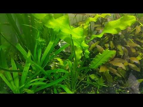 Aponogeton Ulvaceus - Como reproduzir plantas de aquário?