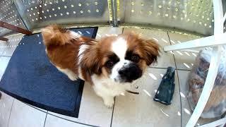 Take a walk with Abby the little Tibetan Spaniel Puppy