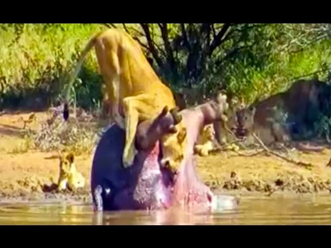 Dead Hippo Explodes And Sh*ts On A Lioness - Latest Wildlife Sightings
