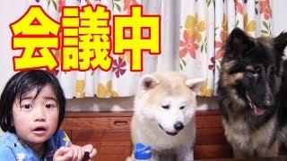 最近チョクチョク喧嘩をする 秋田犬 惣右介ジャーマンシェパード犬マッ...