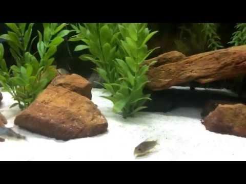 55 Gallon Community Aquarium (w/ Angelfish, Cory Cats, Rummynose Tetras, And Kuhli Loaches)