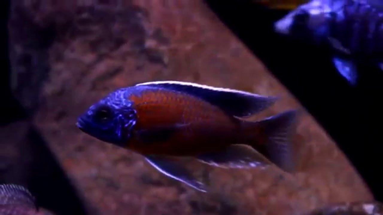 катанга рыба