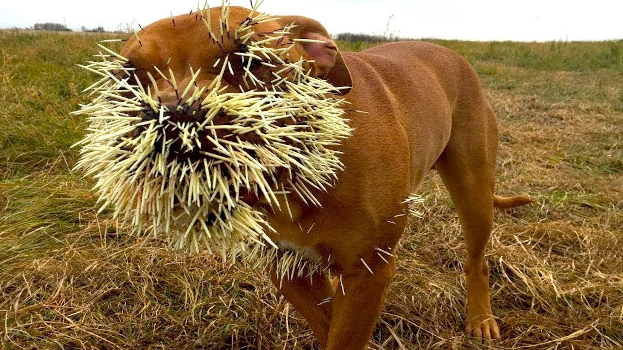 When Porcupines Attack