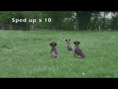 German Shorthaired Pointers doing advanced sit(stay) with distractions