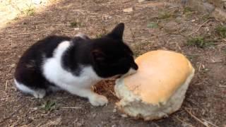 Афонский кот-аскет ест хлеб