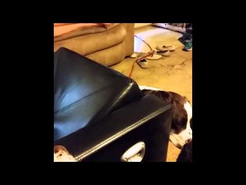 Dog Hides Inside Chair