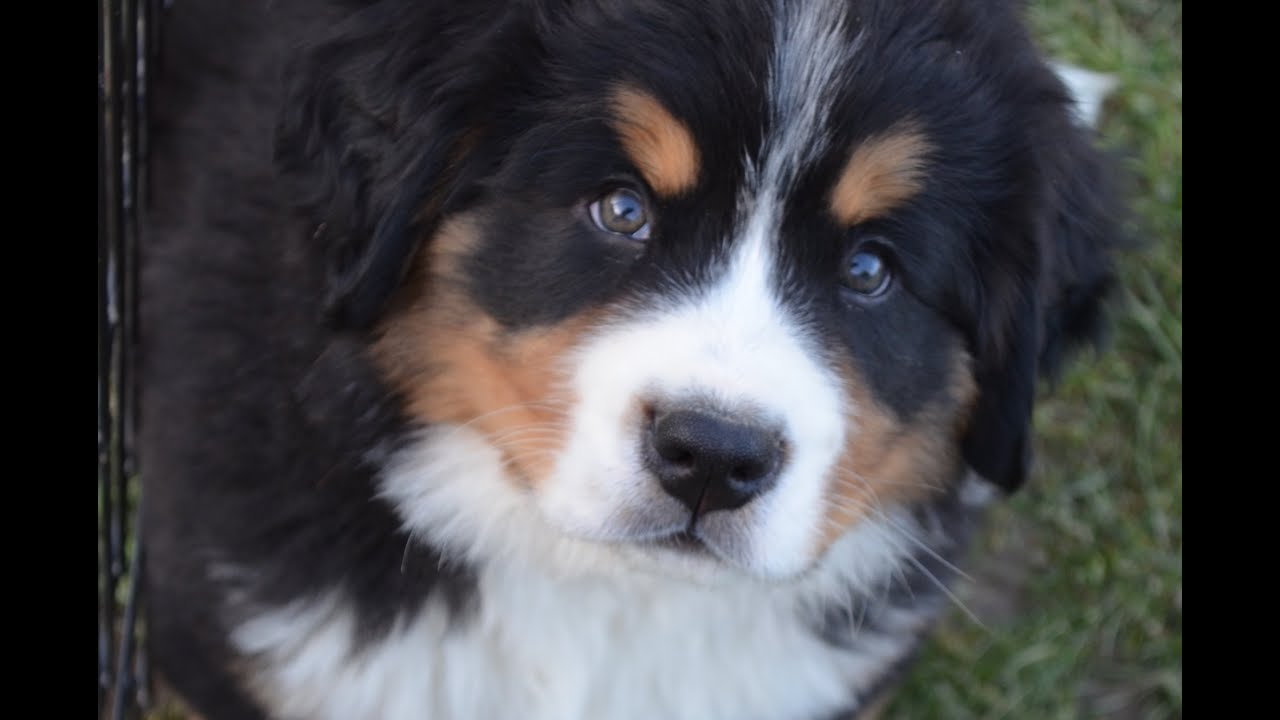 Bernese Mountain Dog Puppies (Chiots Bouviers Bernois