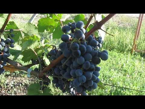 Сорт технического винограда Одесский черный