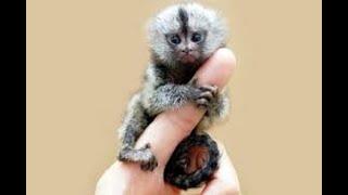 【ピグミーマーモセット】タオルが大好きな小さなお猿の赤ちゃんがかわいい!【赤ちゃん】~Pygmy  marmoset~