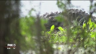 Crowds flock to Circle B for glimpse of monster alligator