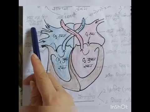 Human Heart class 10 | मानव हृदय संरचना व कार्य | Hindi ...