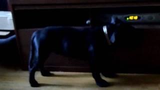 Staffordshire Bull Terrier Pup Orlando